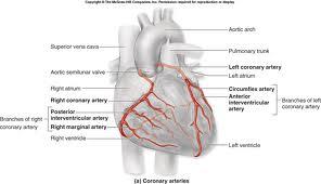 coronary system