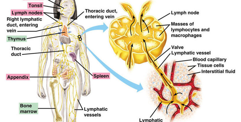 cardiovascular and immunelymphatic systems essay