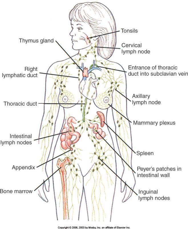 면역 및 임파 생리학, 림프, 염증, 림프 순환
