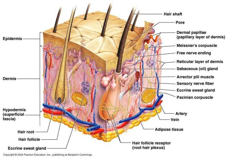 understanding the anatomy of integumentary system | health life media, Human Body