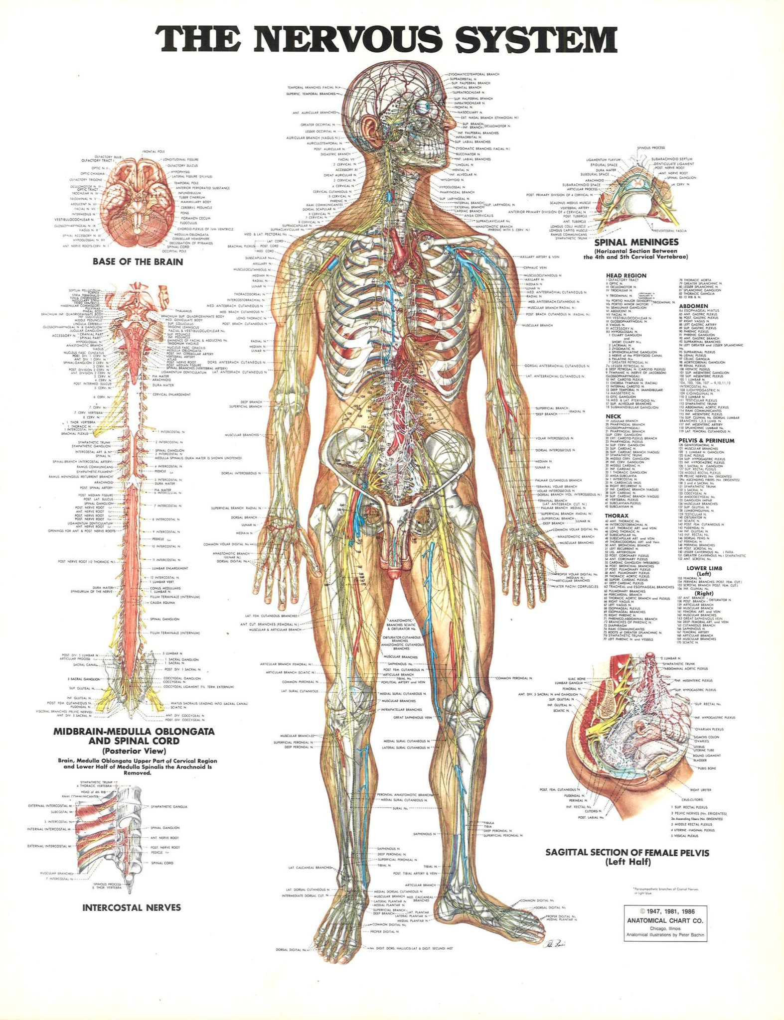 understanding the anatomy of the nervous system | health life media, Muscles
