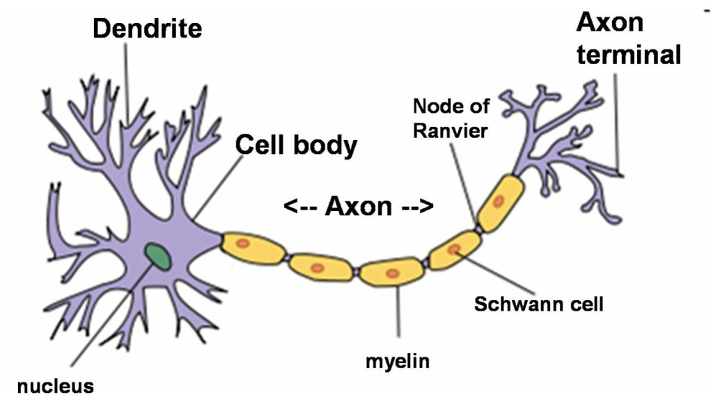 neuron-png1