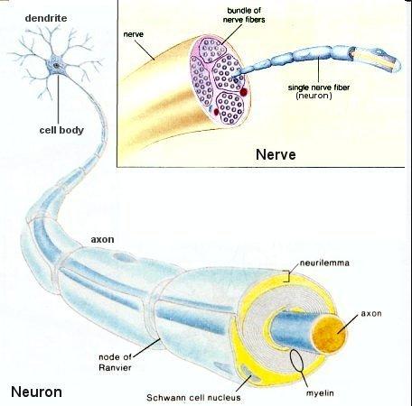 I10-13-nerves5