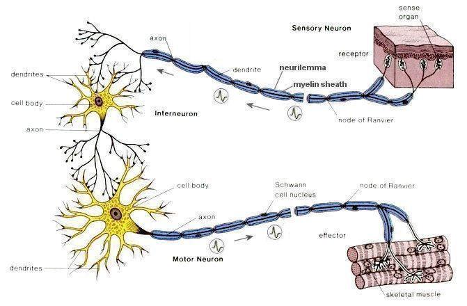 I10-40-nerve