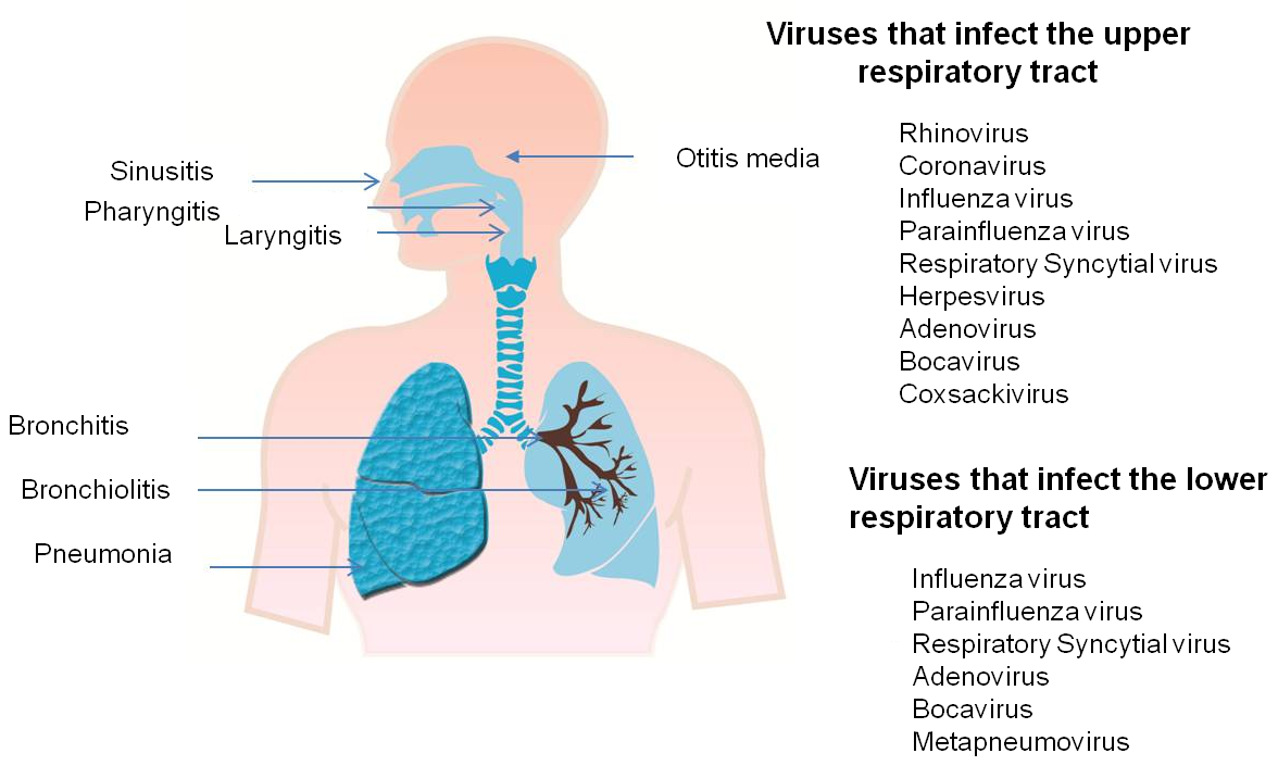 what is an upper respiratory tract infection? | health life media, Human Body