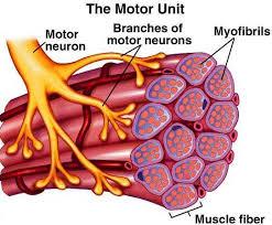 Muscular Motor Units