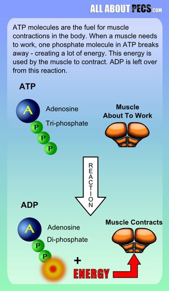 ATP-to-ADP-fuels-muscle-contractions