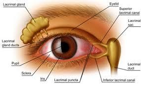 Gli occhi dipendono da un flusso di liquidi consistenti di lacrime per fornire umidità e lubrificazione costanti per mantenere visione e supporto. Le lacrime sono una miscela di acqua, umidità, oli, lubrificazione; muco, per diffondere uniformemente; e anticorpi e proteine speciali, per difesa dall'infezione