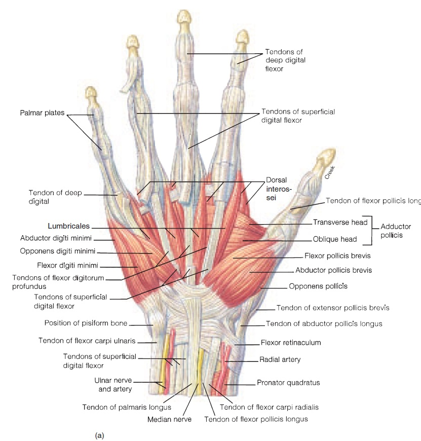 Understanding the Anatomy of the Hand | Health Life Media