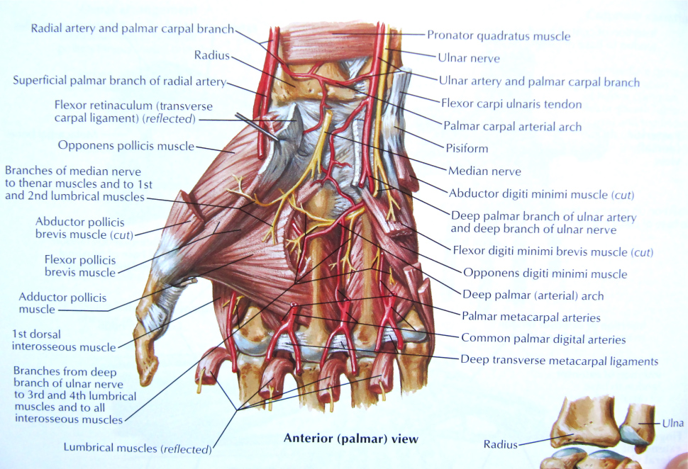 understanding the anatomy of the hand