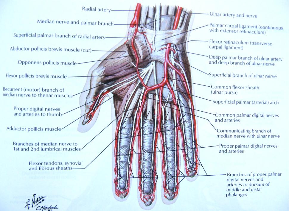 Anatomie der Hand5