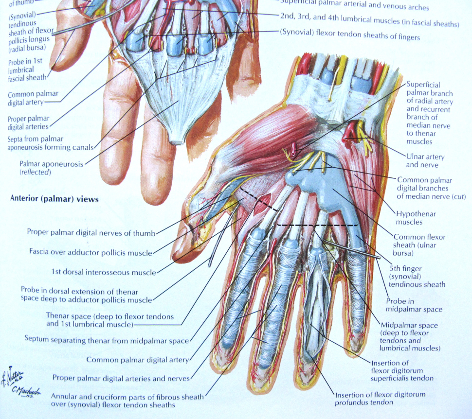 Anatomy of wrist and hand