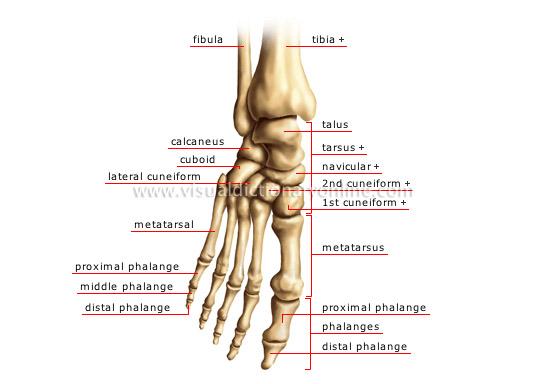腓骨 - 脛骨 - 距骨 - 踵骨 - 直方体 - 人体足関節 - 中足骨 - 近位 - 骨 - 遠位 - 中 - 内側 - 楔状骨 - 腱