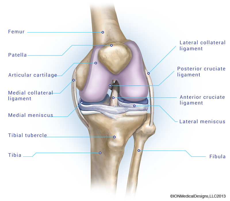 anatomy-of-a-knee cartilage