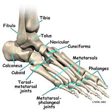 足の解剖学3