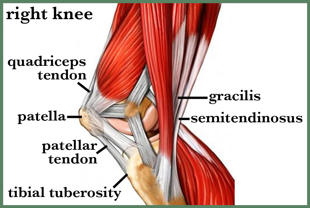 Anatomy Of The Knee Health Life Media