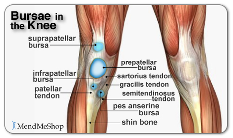 knee anatomy Muscle bursa