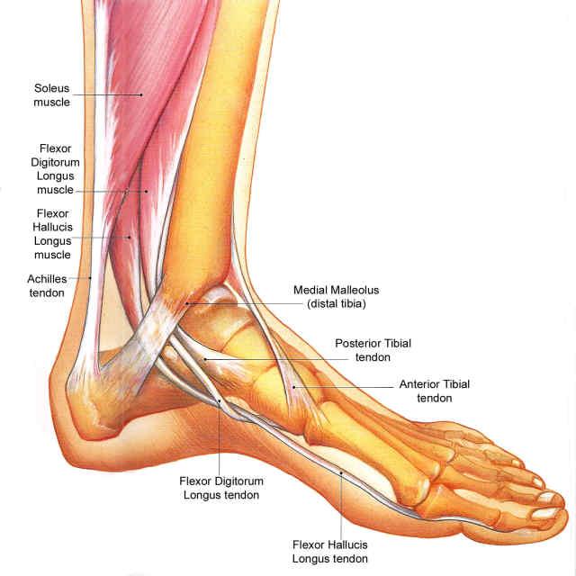 内側足のアナト