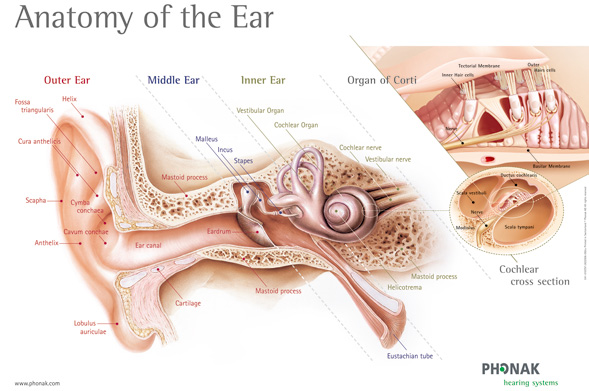 the anatomy of the human ear (the inner ear) | health life media, Cephalic Vein