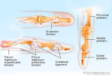 Fingeranatomie: Muskelbewegung, Gelenke und Nerven verstehen ...