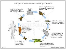 lyme disease3