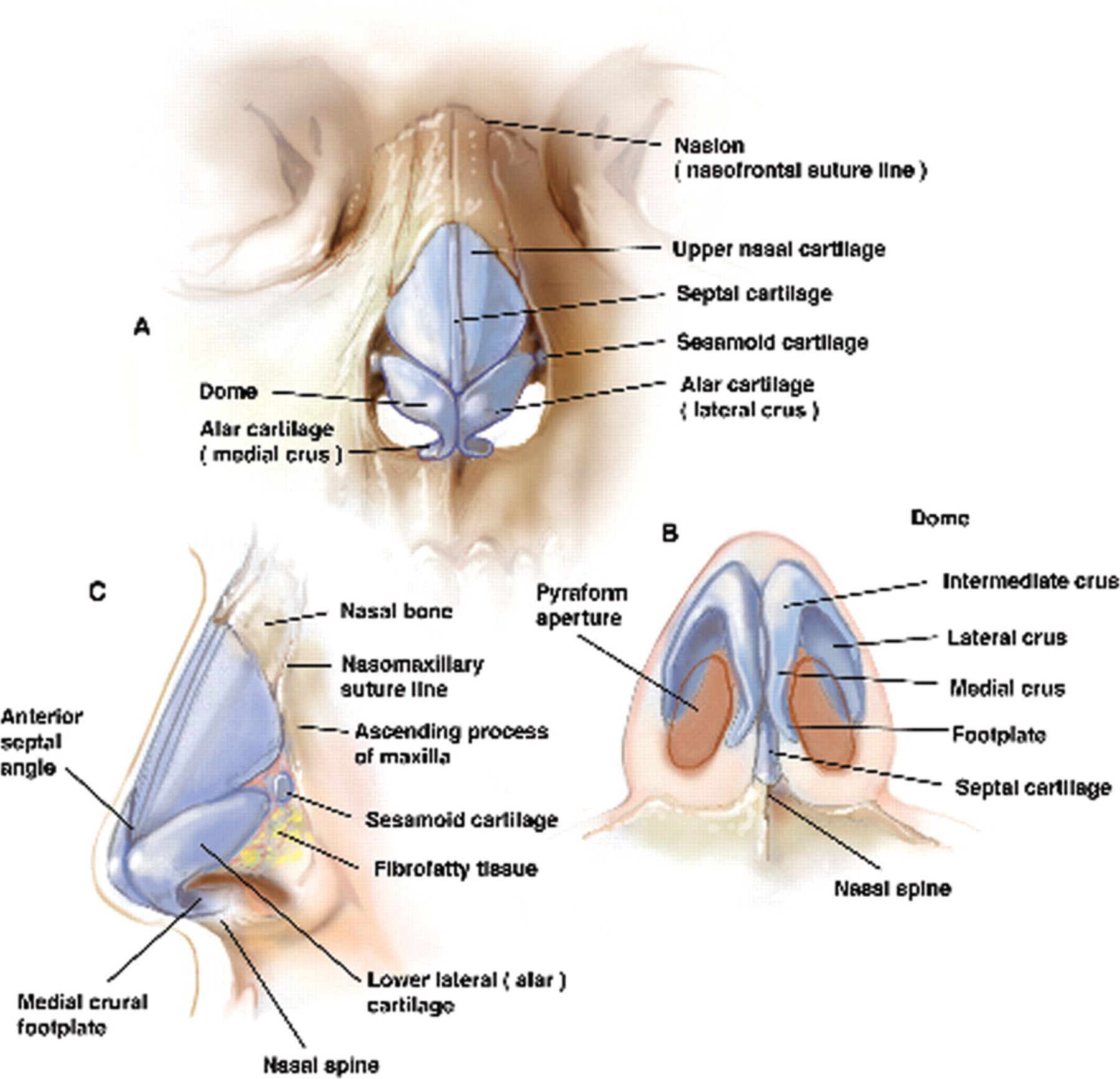 nasal anatomy - Gecce.tackletarts.co