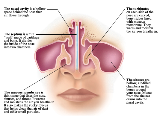 anatomy of the nose | health life media, Cephalic Vein