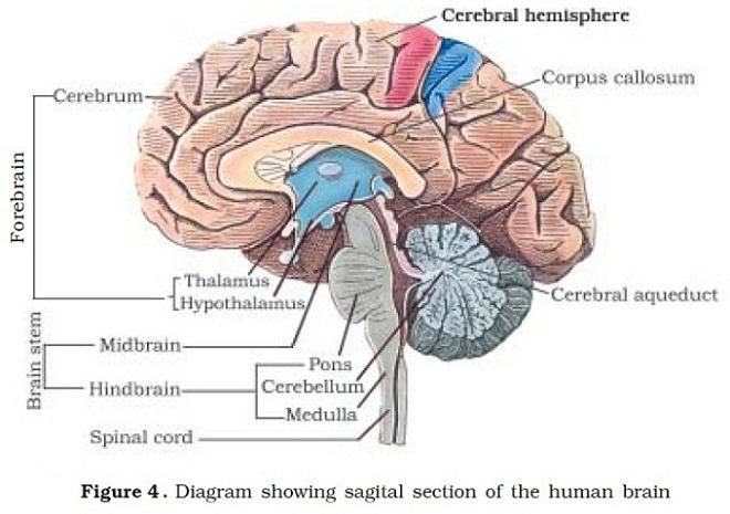 auswachsen des telencephalon