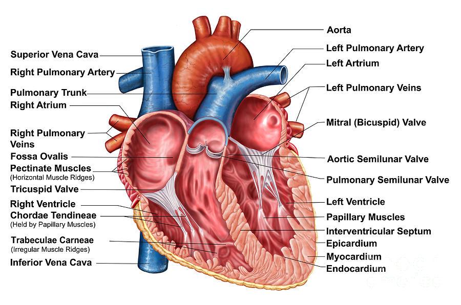 Excepcional Foto Anatomía Del Corazón Componente - Anatomía de Las ...