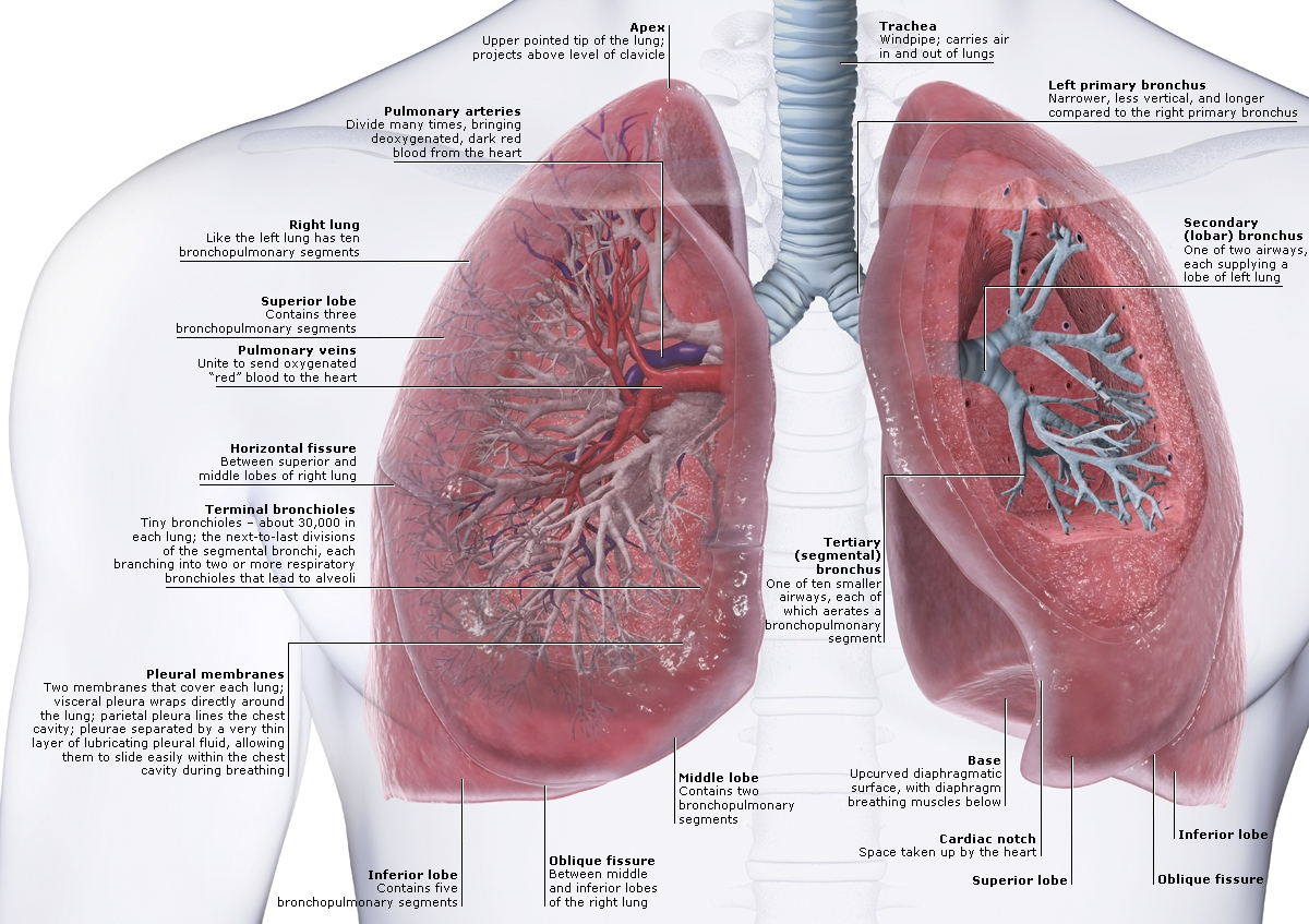 anatomy and physiology of the lungs | health life media, Human Body