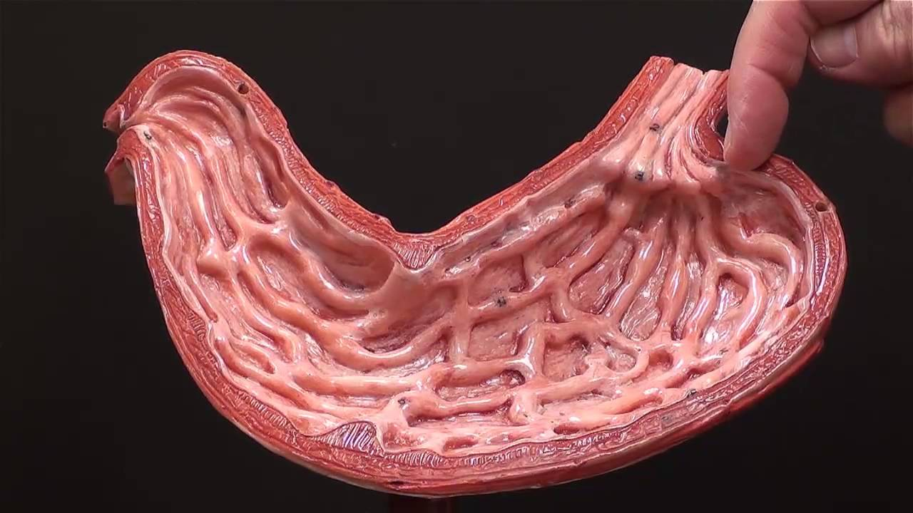 Anatomy human stomach