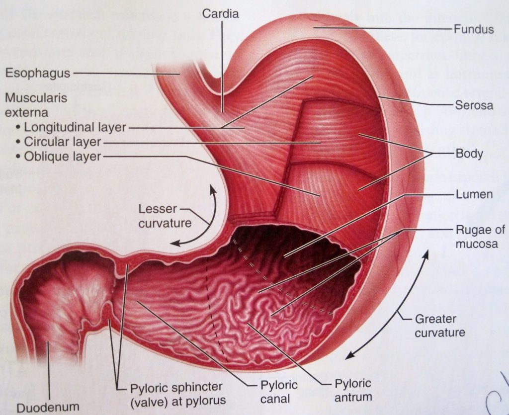 anatomy-of-stomach-in-human-physiology-of-the-stomach-anatomy-medicine