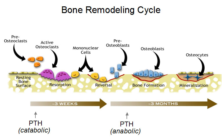 bone-physicology