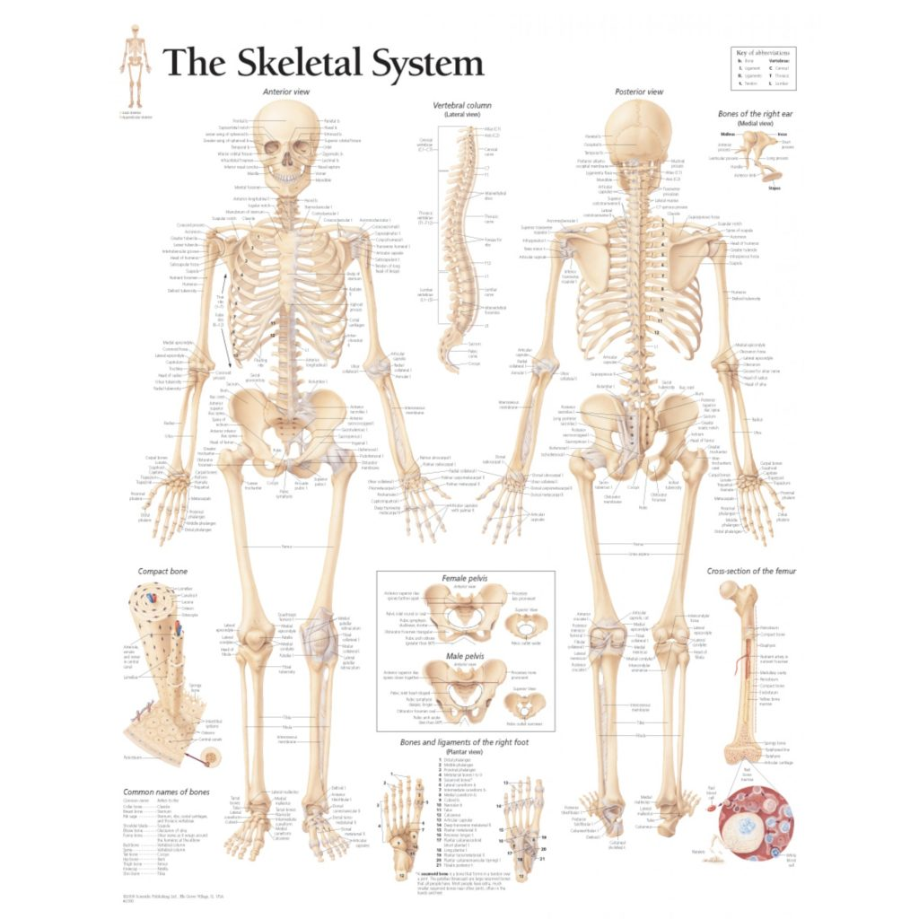 The Skeletal System Anatomy | Health Life Media
