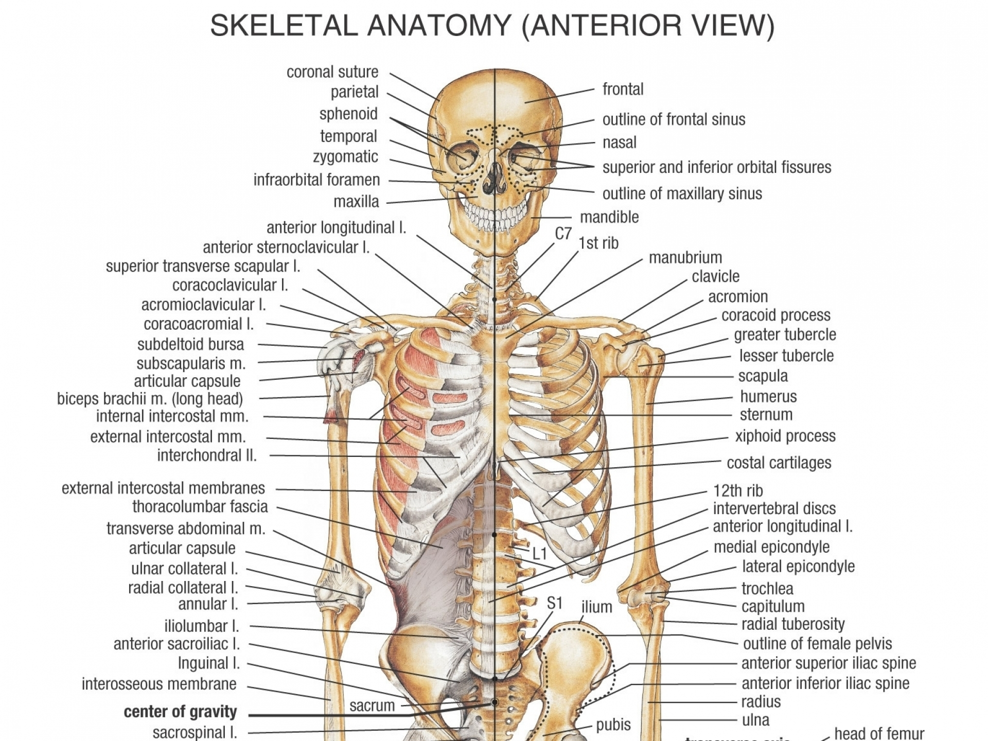 Die Skelettsystem-Anatomie | Health Life Media