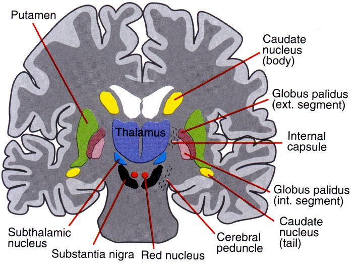 Cerebral Cortex Function Connections Sensory Motorassociation