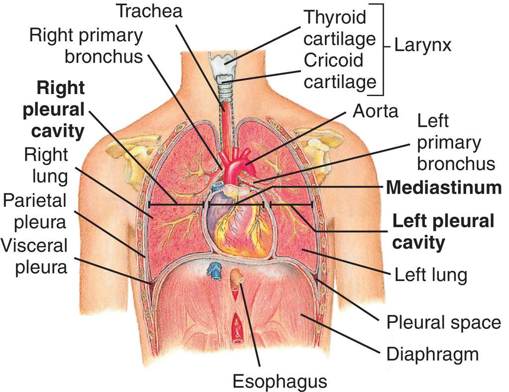 Understanding The Human (Chest) Thorax | Health Life Media