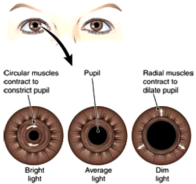How the Eye Pupil Works | Health Life MediaDilated Pupils Drugs Miosis
