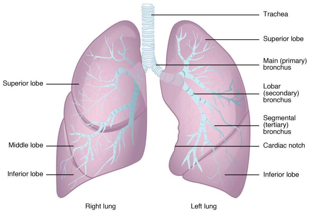Menschliche Lunge Anatomie – Health Life Media