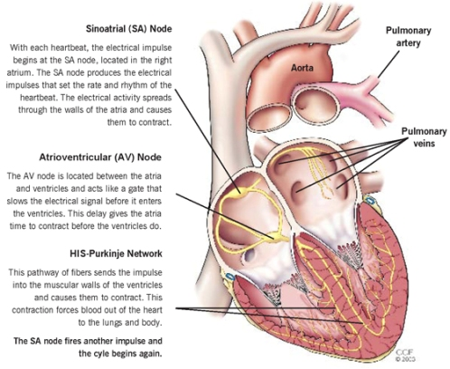 Heart-Electrical -System