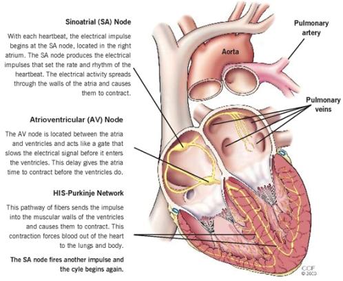 Heart-Electrical -Համակարգը
