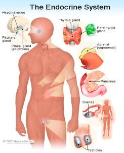 Il sistema endocrino, include tutte le ghiandole e gli ormoni all'interno di quelle ghiandole, in tutto il corpo umano. Il sistema nervoso stimola e controlla le ghiandole, insieme ai recettori chimici all'interno del sangue e agli ormoni sviluppati da altre ghiandole.