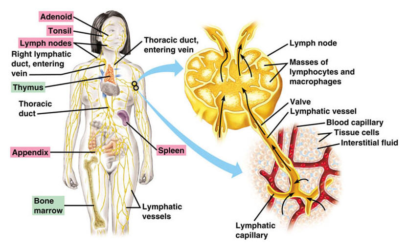 Immune System and Lymphatic Systems