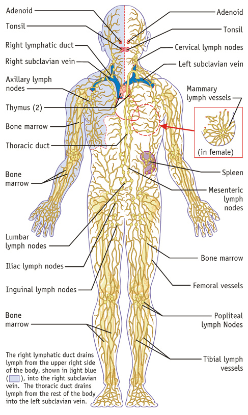 lymphatic-system_487x815