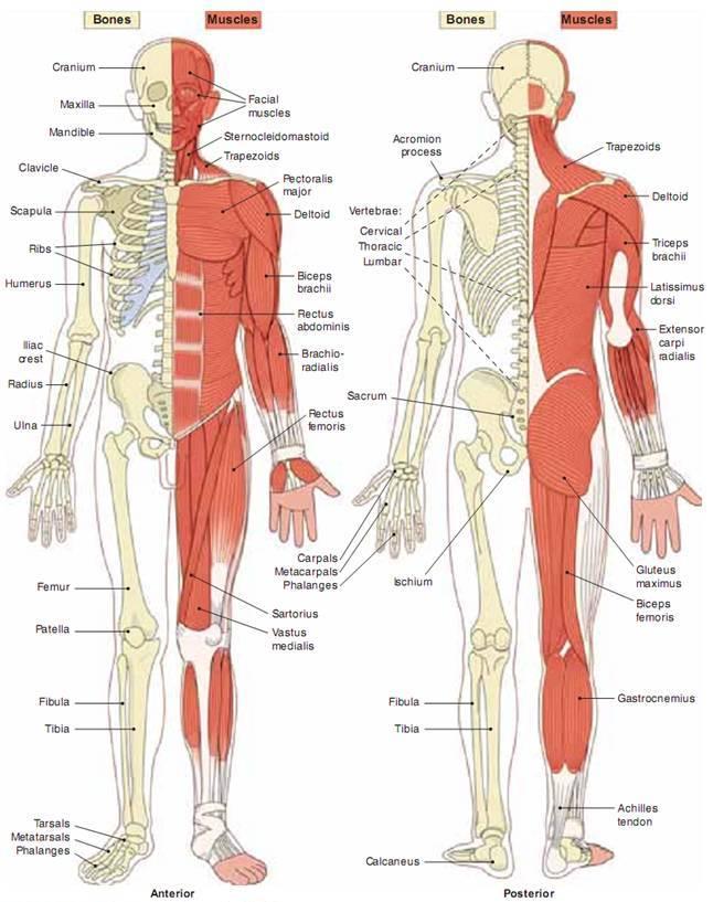 Verständnis der Anatomie des Körpers des Körpers | Health Life Media