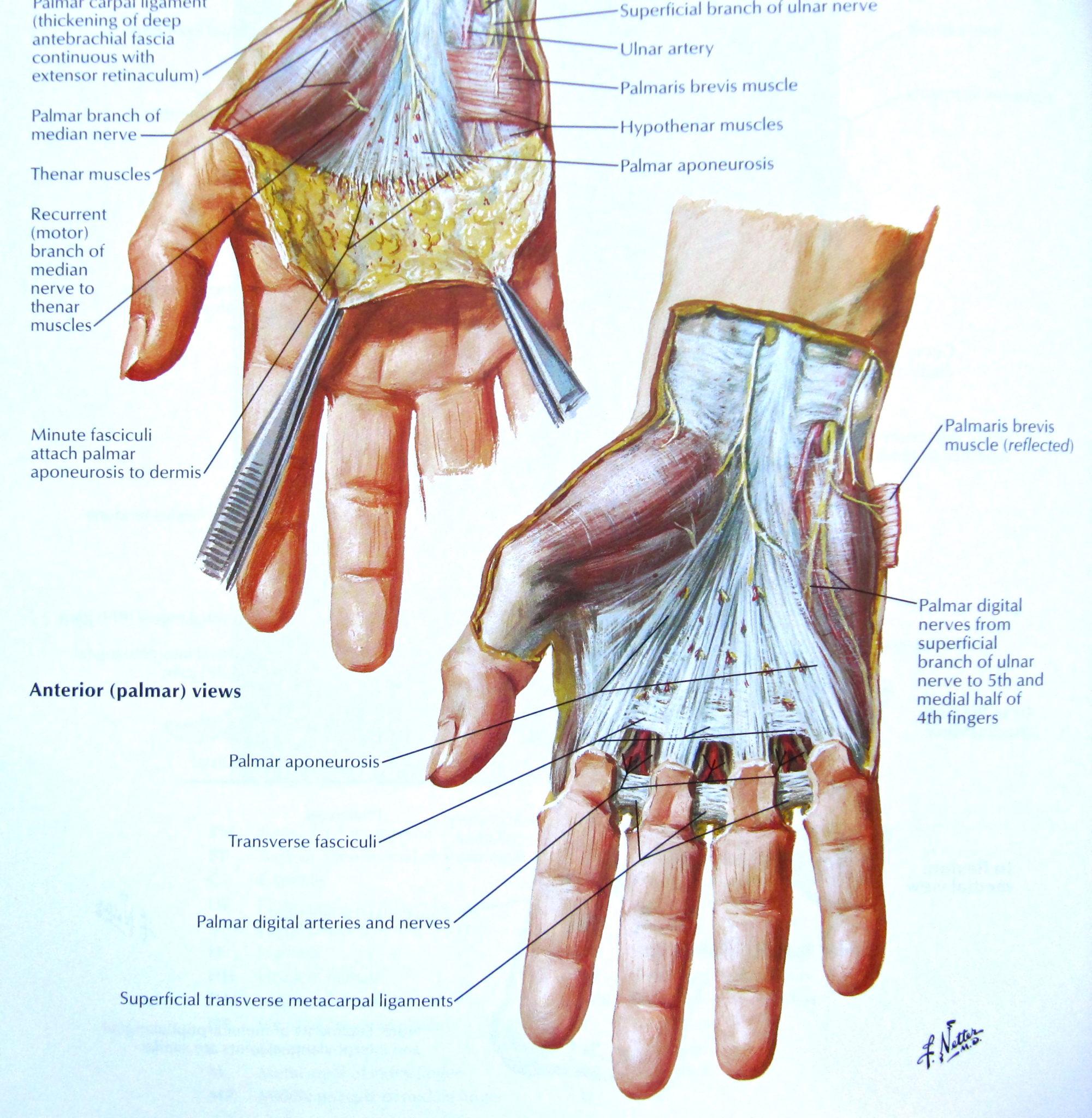 Die Anatomie der Hand verstehen | Health Life Media