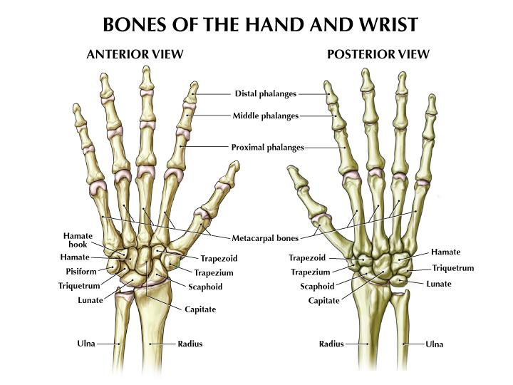 anatomy_of_the_hand2