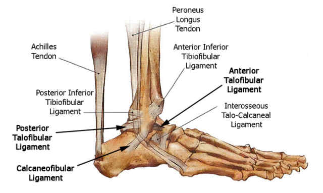 footankle lateral ligament anatomy