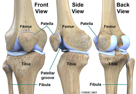 knee anatomy Bones 2
