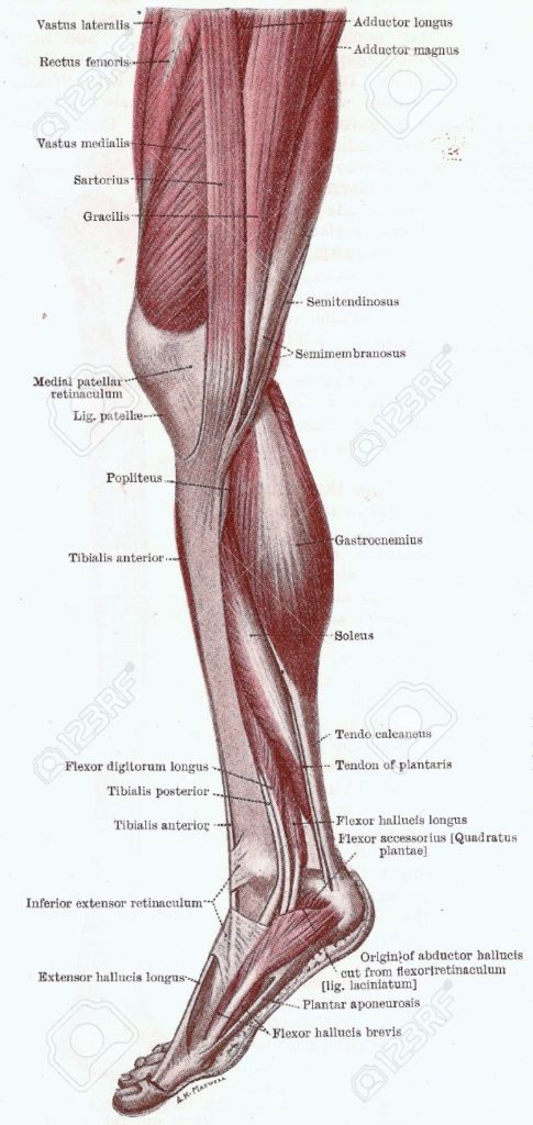 knee anatomy Muscle 3